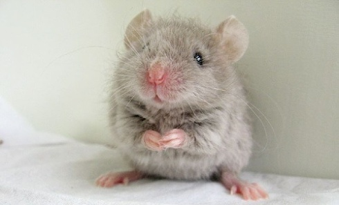 cute-mouse-i-found-on-the-internet-d-egomouse-16282072-500-375